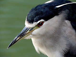 034 The Face of Night Heron