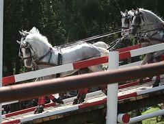 Fahrturnier Riesenbeck (ow54) Tags: fahrturnier riesenbeck fahrsport pferde horses driving carriage vierspänner vierergespann gespann schimmel