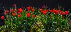 Tulips (frankmh) Tags: plant flower tulip evening sofiero helsingborg skåne sweden