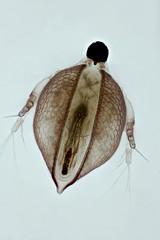 Ceriodaphnia (mr.sansibar) Tags: pond freshwater arthropoda plankton pondlife zooplankton crustacea focusstacking olympusbh2 photomicrography microscopy heliconfocus waterflea cladocera ceriodaphnia