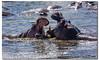 Clash of the Titans (danishpm) Tags: africa floraandfauna hippopotamus kenya canoneos5dmkiii lakenaivasha