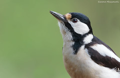 Ritratto (Simone Mazzoccoli) Tags: nature wild wildlife bird birdwatching portrait spring background light details plume woodpecker