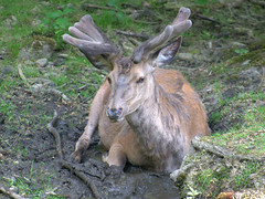 deer cooling in the mud / Hirsch im Schlamm liegend (Teresa (be there...)) Tags: hirsch rotwild liegend pfütze schlamm geweih poroże błoto kałuża jeleń zwierzę antler mud puddle reddeer deer