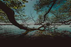 duck tales   l  2018 (weddelbrooklyn) Tags: tier tiere ente enten wasser natur landschaft schleswigholstein plön plönersee see prinzeninsel ufer frühling sommer nikon d5200