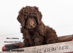 Hershey - Doodle Sweethearts photo - 01 (JD and Beastlet) Tags: