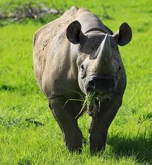 Spring grass is so much sweeter (joannekerry) Tags: blackrhino rhino rhinoceros wildlife yorkshirewildlifepark nature canon