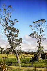 Two Trees (wyojones) Tags: hawaii volcanovillage bigisland trees plants cows cattle farm shed metal rusty sky clouds wyojones np