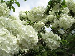 Dawes Arboretum in bloom. (DonaSite) Tags: dawesarboretum spring blooms lilac