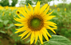 SUNFLOWER (lakhdeepgogu19) Tags: flower cultivation garden summer sunflower petals closeup india field