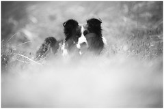 Being There (JJFET) Tags: border collie dog sheepdog herding