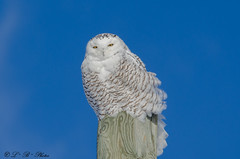 Snowy Owl (PerfumeG2011 (on and off )) Tags: mirabelquébeccanada nature winter snowyowl owls birdsofprey 2018 mirabel owl buboscandiacus