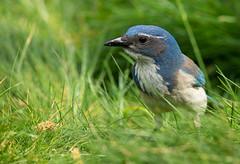 In the Tall Grass (Rick Derevan) Tags: jay bird scrubjay aphelocomacalifornica california scrubjaycalifornia scrub blue green grass