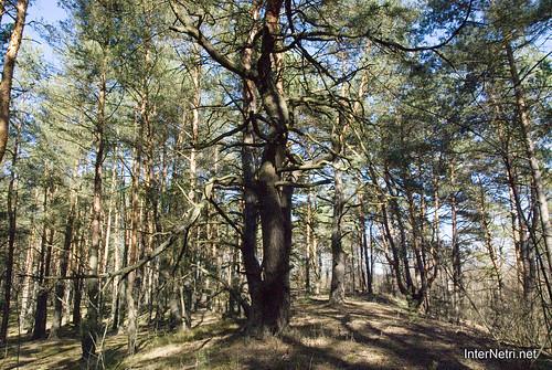 Волинський ліс InterNetri Ukraine 1063032816