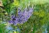 Le reflet de la glycine (Hélène Quintaine) Tags: glycine plante fleur reflet eau bassin chaumontsurloire festivaldesjardins france printemps mai abstrait abstraction mauve vert violet verdure nature