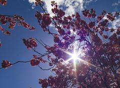 The sunbursting through the blossom (BUTEOGRAPHYGIRL) Tags: plant sun sunburst pink blue sky clourds white blossom