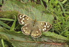 Butterfly - Speckled Wood (Prank F) Tags: mauldenwood forestrycommission bedford uk wildlife nature insect macro closeup butterfly speckled wood
