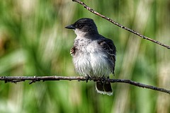 Eastern Kingbird (Tyrannus tyrannus) (JRWhitaker1) Tags: neotropicalmigrant migratory songbird spring bird bombayhooknationalwildliferefuge delaware tyrannustyrannus easternkingbird