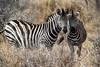 Zebra (mayekarulhas) Tags: krugerpark mpumalanga southafrica za zebra safari wildlife wild krugernationalpark canon