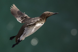 Guillemot in flight, Flamborough Headland