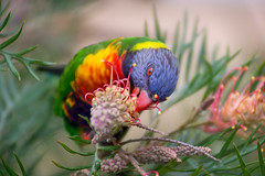 Rainbow Lorikeet (Australian Parrot) Eating Grevillea 'Superb' Nectar (front view) (Jonathan⦿) Tags: rainbowlorikeet bird parrot eating grevillea australia australian grevilleasuperb flower lorikeet rainbow parakeet wild wildlife nature coseup portrait close macro blur branch colourful colorful colors beautiful green orange blue yellow red saturated vibrant lory lories lori multicolored bright color feeding licking food nectar eye beak feathers animal species trichoglossus moluccanus frontview