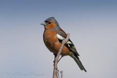 Chaffinch (Dougie Edmond) Tags: ayr scotland unitedkingdom gb finc bird birds nature wildlife canon