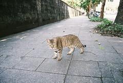 攔路虎 (YL.H) Tags: canon 500n film analog cat 貓 taiwan agfa