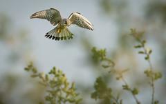 Kestrel hunting (Steve D'Cruze) Tags: kestrel male hunting hovering bird prey depth field view sigma nikon 150600mm d3s full frame common