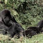 Relaxing gorilla thumbnail
