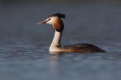 Great Crested Grebe, Lough Neagh (allengillespie.photo) Tags: grebes greatcrestedgrebe oxfordisland loughneagh