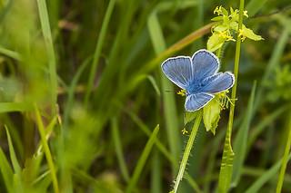 Argus Bleu-nacré (Polyommatus coridon)