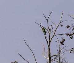 20180421-0I7A4420 (siddharthx) Tags: bird birdwatching birdsinthewild birdsofindia canon canon7dmkii catchment chandrampally chandrampallydam chandrampallynaturereserve chincholi chincholiforest chincholinaturereserve dawn daytrips ef100400mmf4556lisiiusm forest goldenhour gottamgutta habitatscrubland pristine promediageartr424lpmgprostix reservoir rivulet scrubforest sunrise telanganakarnatakaborder wild wildbirds wildlife chandrampalli karnataka india in plumheadedparakeet parakeet parrot