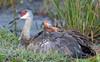 Sandhill Crane Colts (dubrick321) Tags: birds sandhillcrane sandhillcranes sandhillcranebabies sandhillcranecolts sandhillcranenest