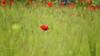 (270/18) Mi primera amapola (Pablo Arias) Tags: pabloarias photoshop photomatix capturenxd españa hierba espigas campo flor amapola color rojo paracuellos madrid