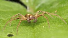Philodromus sp. cespitum (a Running Crab Spider) 2c (Jonathan (chirpy)) Tags: spider canon eos m50 mpe 65mm mt24ex flash macro wildlife nature berkshire uk dintonpastures