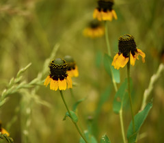 Black Eye Susans (Corgibird) Tags: llela outdoors nature nativeplants wildflowers turtles nest shells eggs beaverdam green algae swamp trails fields horsemint dirt plants trees sunlight