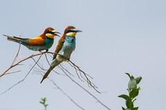 20mai18_21_prigorii prundu 21 (Valentin Groza) Tags: prigorie prigorii bee eater merops apiaster romania summer bird flight bif birdwatching outdoor