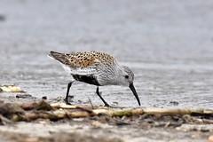 Dunlin (Calidris alpina) (Natureholic001) Tags: dunlin natureholic slaughterbeach delaware shorebirds birdsofnorthamerica