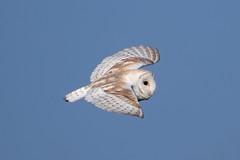 Barn Owl (Rod Martins) Tags: 21stmay2018 barnowl tytoalba