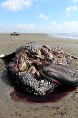 Biomess (Mïk) Tags: oceanshoreswa washington notheotherwashington whale beach beached sand carcase body pacificocean