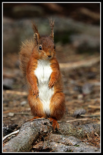 IMG_0116 Red Squirrel