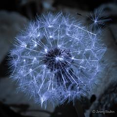 Dandelion Seeding (JKmedia) Tags: sony dandelion seeds blue rinse square boultonphotography bridgecamera 2018 spring may macro nature clocks