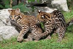 Bébés ocelots (Passion Animaux & Photos) Tags: ocelot bebe cub leopardus pardalis domaine fauves france