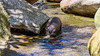 Asian Small-clawed Otter (Merrillie) Tags: moss whiskers otter water asiansmallclawedotter animals mammal swimming rocks animal