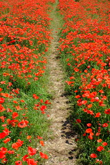 Path (sebastienvillain) Tags: xe2 xseries xf35mm provence campagne campaign champ field coquelicot poppy coquelicots poppies red rouge nature fleur fleurs flower flowers