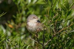 Subalpine Warbler (Sylvia cantillans) (Elipsix) Tags: cabrera subalpinewarbler