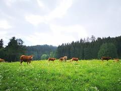 etc 20180521 Steiermark Kühe Franz Joseph Höhe Oberzeiring AngelikaMy (rerednaw_at) Tags: steiermark kühe franzjosephhöhe oberzeiring angelikamy