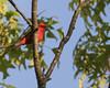 Scarlet Tanager (J.B. Churchill) Tags: allegany birds malcolmroad maryland places scta scarlettanager tanagershoneycreepers taxonomy oldtown unitedstates us