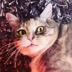 When you get caught doing something you shouldn't .... #catsofinstagram #catstagram #catface #princesstrufflesthesupercat #instacat (jrvl) Tags: ifttt instagram