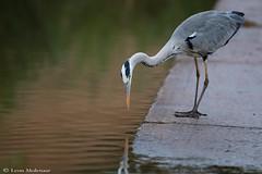 Grey Heron (leendert3) Tags: leonmolenaar southafrica krugernationalpark wildlife nature birds greyheron ngc coth coth5