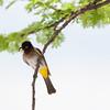 African red-eyed bulbul. (annick vanderschelden) Tags: bulbul africanredeyedbulbul redeyedbulbul bird wildlife wilderness nature animal branch perch namibia